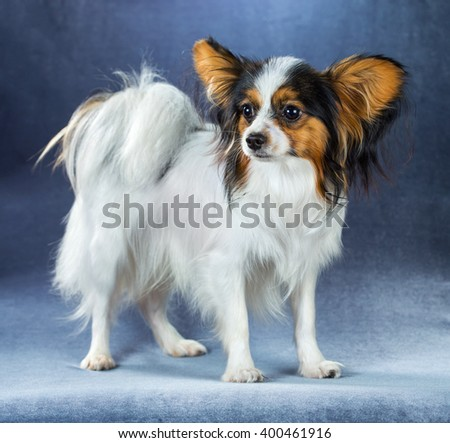 Young dog of breed papillon standing on a blue background