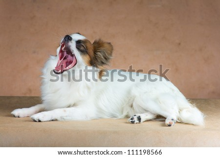 Young dog of breed papillon yawns on a  beige background - stock photo