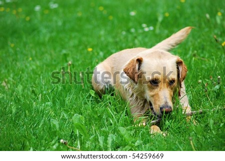Young dog playing with small stick. - stock photo