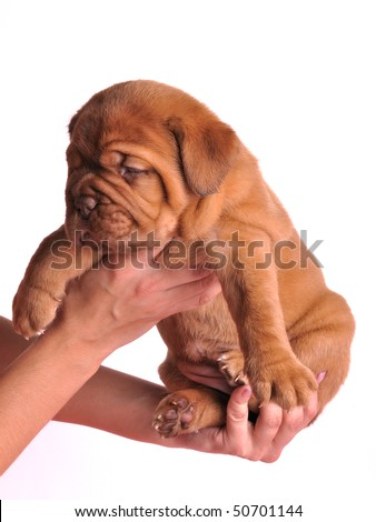 Young Dogue De  Bordeaux puppy in female hands - stock photo
