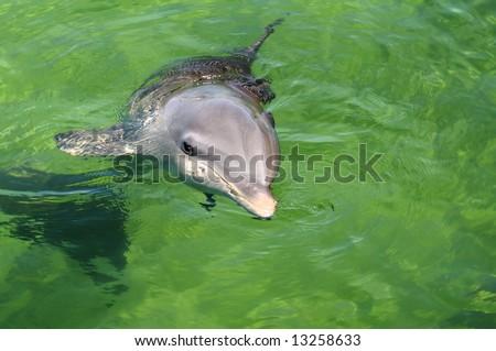 Young dolphin near Cuban coast - stock photo