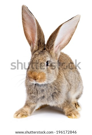 Young domestic brown rabbit on white background