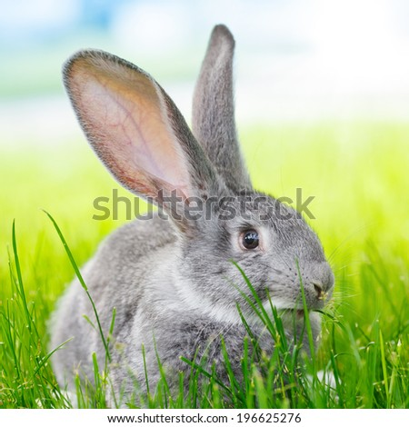 Young domestic grey rabbit in green grass - stock photo