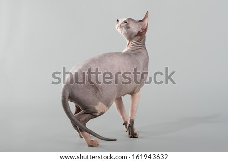 Young Don sphinx cat on an isolated background - stock photo