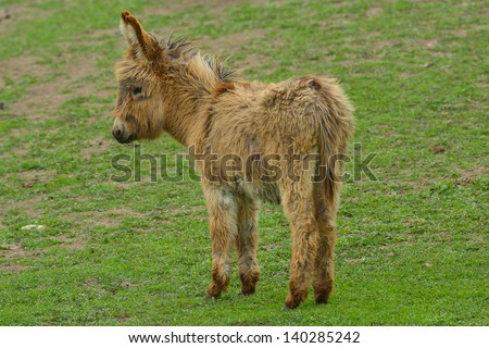 Young Donkey (Equus africanus asinus) - stock photo