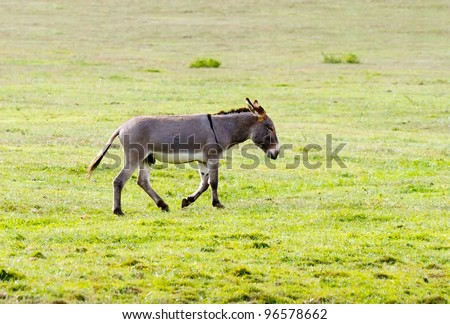 Young donkey walks in the green field