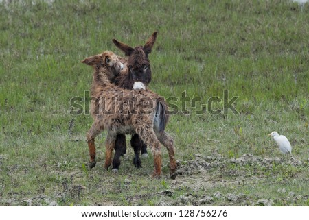 Young Donkey while grooming in the green grass background