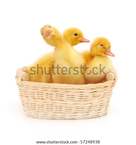 Young ducklings in a basket. Isolated on a white background.