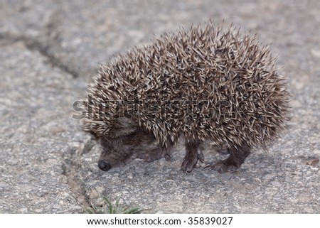 Young Eastern European Hedgehog (Erinaceus concolor)