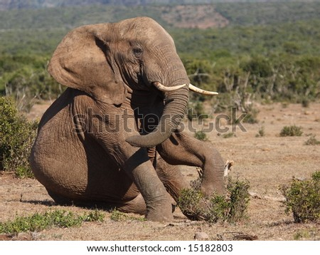 Young Elephant bull playing and sitting. - stock photo