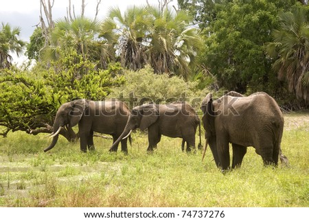Young elephant bulls, Selous Game Reserve, Tanzania - stock photo