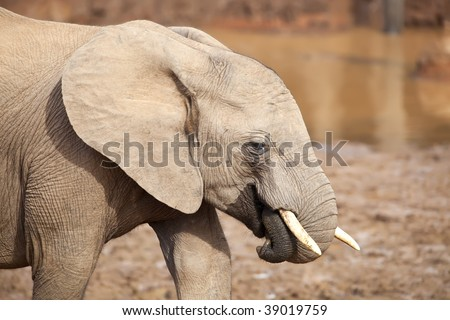 Young Elephant close up, playing with its trunk - stock photo