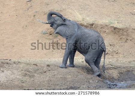 Young Elephant coming out of mud pool, on Mara river bank. - stock photo
