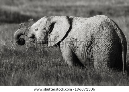Young Elephant eating grass in the swamp of Amboseli National Park, Kenya - stock photo