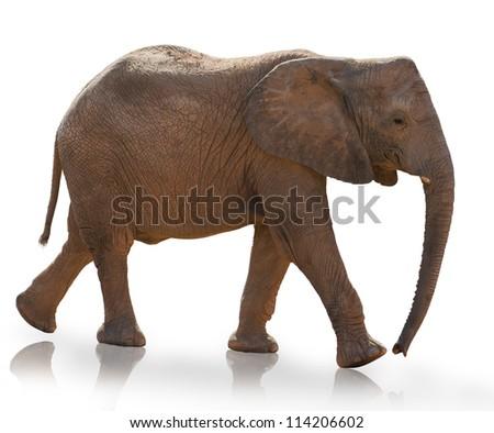 Young Elephant Isolated On White Background - stock photo