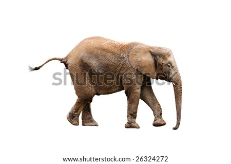 young elephant isolated on white with clipping path - stock photo