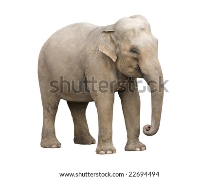 Young elephant isolated with clipping path. Easy to put over any background.