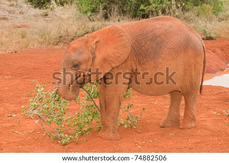 Young elephant playing with a branch at the David Sheldrick Elephant Orphanage in Nairobi, Kenya - stock photo