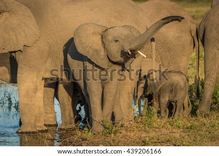 Young elephant raising trunk in golden light - stock photo