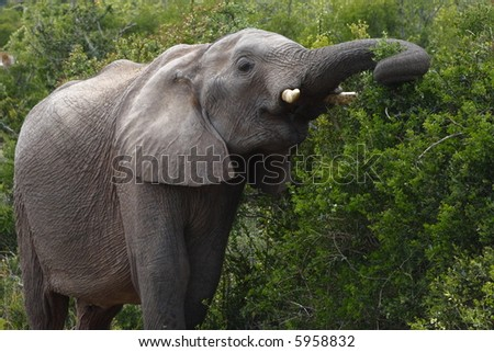 young elephant stretching for some foliage