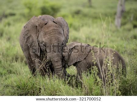 Young Elephants cuddling, Serengeti, Tanzania - stock photo