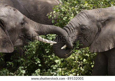 Young elephants eating in Serengeti National Park, Tanzania, Africa