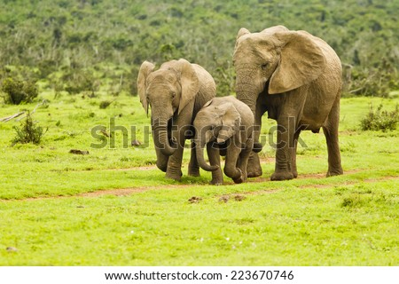 Young elephants walking down a path to a water hole