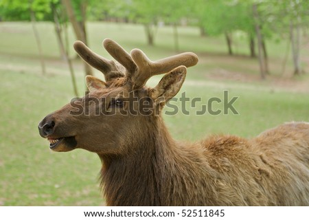 Young elk, or wapiti (Cervus canadensis), with a humorous expression as if talking. - stock photo