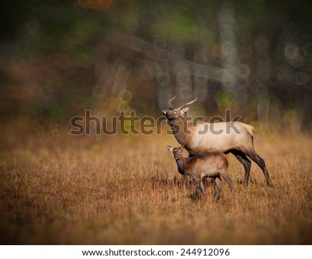 Young elk with calf in Catalooche, North Carolina - stock photo