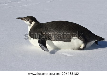 young emperor penguin who crawls on his belly in the snow - stock photo