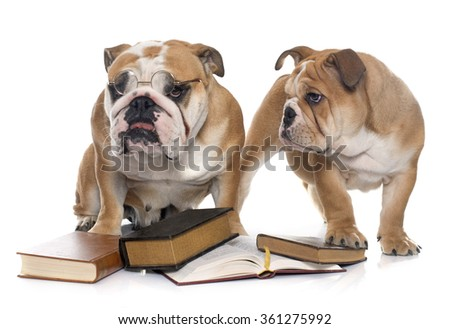 young english bulldogs and books  in front of white background