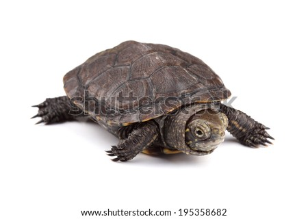 Young European pond turtle isolated on white  - stock photo