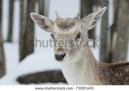 Young fallow deer buck in with snow and tree background - stock photo