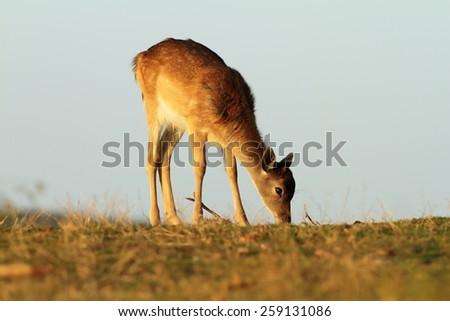 young fallow deer grazing on meadow ( Dama ) - stock photo