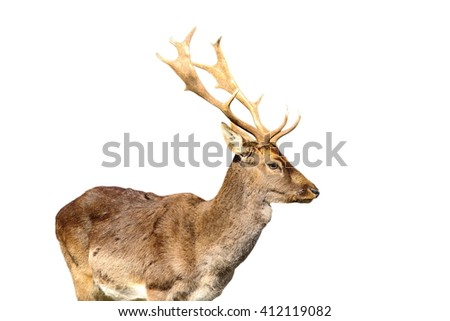 young fallow deer male  isolated over white background ( Dama dama ) - stock photo