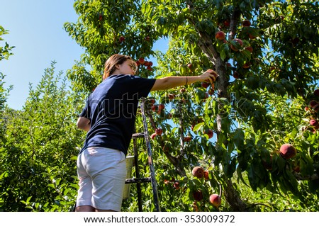 young farmer girl who gathers and taste fresh peaches from tree - stock photo