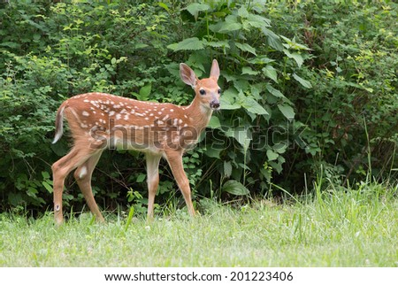 Young fawn isolated against green leaves and bushes. - stock photo
