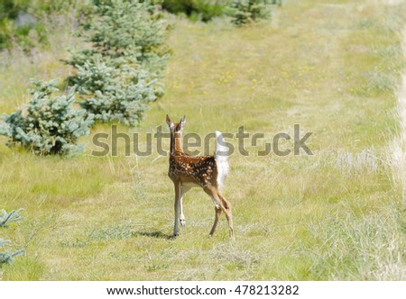 young fawn Whitetail deer (Odocoilus virginianus)