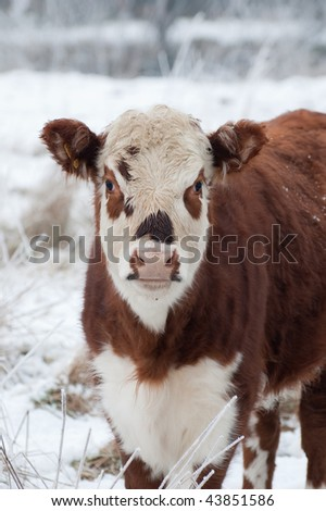young female cow in a wintry field (one of a series of pictures featuring cattle and horses in snow)