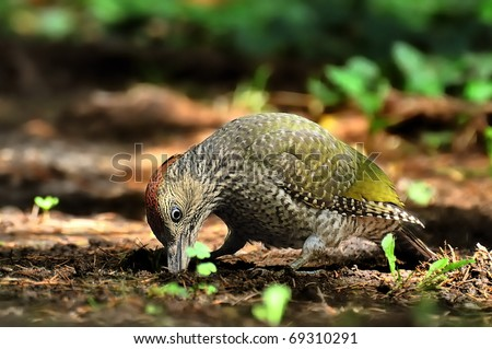 Young female green woodpecker searching for food in the ground - stock photo
