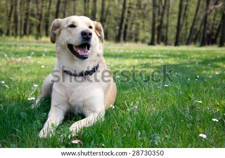 Young female labrador laying in the spring grass - stock photo
