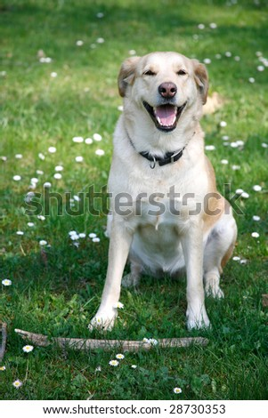 Young female labrador sitting with stick in the spring grass and flowers - stock photo