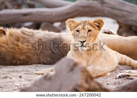 Young female lion lying in jungle - stock photo