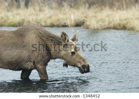 Young female moose in water