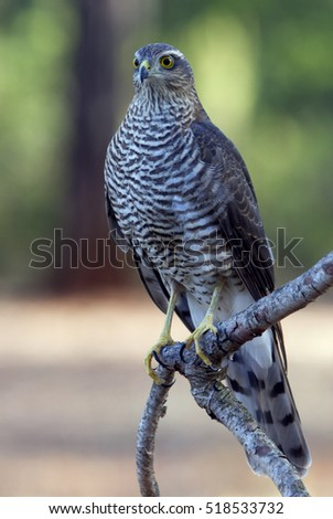 Young female of Eurasian sparrowhawk. Accipiter nisus