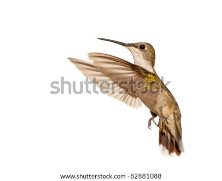 Young female Ruby-throated Hummingbird in flight against white background - stock photo