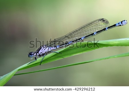 Young female variable damselfly (Coenagrion pulchellum)