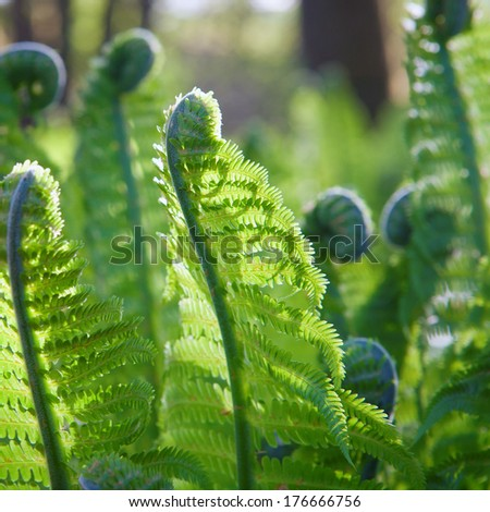 young fern plants in nature; natural back light was used; spiral shape are typical on young plants - stock photo