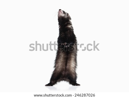 Young ferret isolated on white background