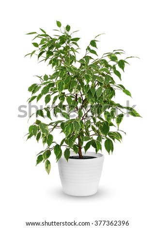 young Ficus benjamina kinky a potted plant isolated over white - stock photo